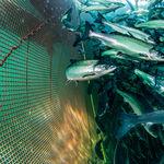 filet pour l'aquaculture / pour cage à poissons